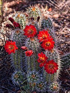 Names+of+Blooming+Cactus   626 Red Cactus Flowers