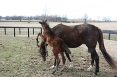 This is the Congrats colt, and his mama has to put up with a lot. He is very rambunctious!