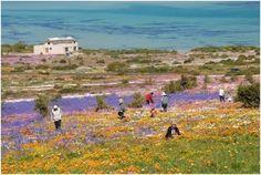 Flowers in Spring - Langebaan, Western Cape South Africa Provinces Of South Africa, South Afrika, Tourist Spots, Country Art, Wild Flowers, Spring Flowers, Outdoor Life, African Art, West Coast