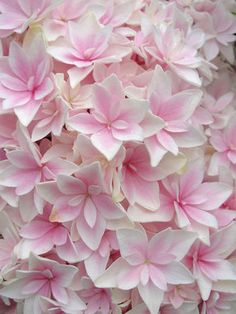 So beautiful, I want some of these for summer......Hydrangea Double Delights Freedom