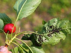 Biologické postřiky na mšice jsou účinné a šetrné, ale pomůžou i dravci a parazitoidi - ČESKÉSTAVBY.cz Camera Photography, Garden Art, Zucchini, Plant Leaves, Ale, Vegetables, Fruit, Plants, Tricks
