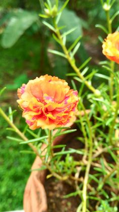 Exotic Flowers, Beautiful Flowers, Portulaca Grandiflora, Autumn Art, Backyard Landscaping, Indoor Plants, Landscape Design, Planting Flowers, Natural Beauty