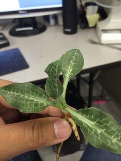 Arum Family Plant - http://www.gardenanswers.com/bulb-plants/arum-family-plant/