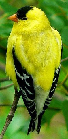 American Goldfinch - We get a lot of these in our yard because they love eating our purple cone flower seeds. They're beautiful. :)