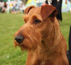 This is an Irish terrier with a different haircut. I love red dogs.