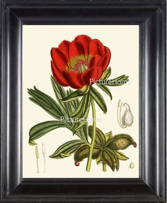 Hey, I found this really awesome Etsy listing at http://www.etsy.com/listing/160265582/botanical-art-print-peony-plant-b15