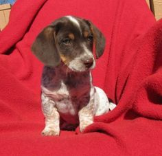 Meet Landon, a Petfinder adoptable Dachshund Dog | Mountain Home, AR | Hi, my name is Landon and I am an 8 week old (as of March 25) male Dachshund/Heeler mixed dog. My...
