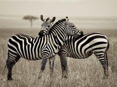 Zebras style!