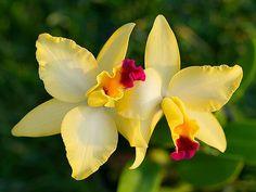 Catalya orchid