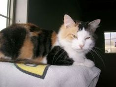Violet is an adoptable Calico Cat in Burnham, PA. This is Violet.� She is approx 1-2 yrs old, spayed, negative FIV/Feluke and litter trained.� She came to rescue this summer just days away from delivering 5 beautiful kittens.  She is a beautiful, sweet cat...