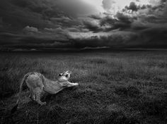 As ominously low clouds loom over the savanna, a lioness in Kenya's Masai Mara National Reserve stretches in this National Geographic Photo of the Day.