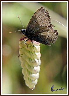 Le farfalle del Gennargentu - Desulo