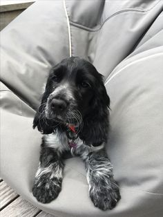 Cute Dogs And Puppies, Baby Puppies, Pet Dogs, Dog Cat, Doggies, Blue Roan Cocker Spaniel, Cocker Spaniel Puppies, Cute Baby Animals, Animals And Pets