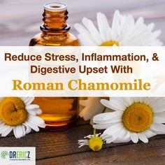 Chamomile varieties have long been known for their calming effects on the nervous system as well as the digestive system. Roman chamomile differs slightly from the more commonly used German chamomile, but still carries its weight in both the herbal and essential oil worlds.