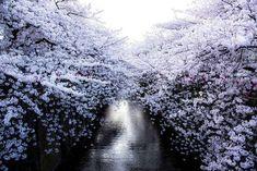 flori de cires1
