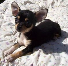 This chihuahua looks a lot like my baby girl, Tera.