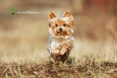 Yorkshire Terrier #Yorkie Dog opawz.com supply pet hair dye,pet hair chalk,pet perfume,pet shampoo,spa.... - http://amzn.to/2h50xSk