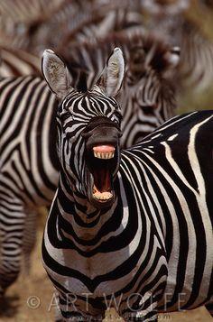 Burchell's zebra, Masai Mara National Reserve, Kenya