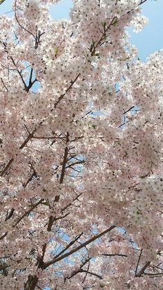 찬란한 벚꽃~