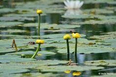 Imagini pentru rizac planta Dandelion, Flowers, Plants, Dandelions, Taraxacum Officinale, Royal Icing Flowers, Flower, Florals, Floral