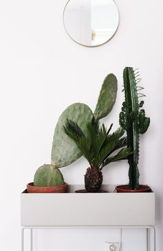Cactus, cactus planters, tall cactus, cacti and succulents, indoor plants. Cacti And Succulents, Cactus Plants, Tall Cactus, Cactus Decor, Cactus Flower, Flower Bookey, Flower Film, Foliage Plants, Flower Pots