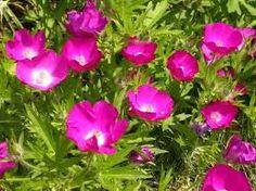 CALLIRHOE involucrata Wine Cups, Prairie Rose  grow in ontario in sandy soil