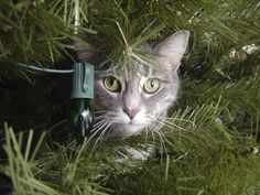 How to keep your cat off the Christmas tree: I'm going to have to figure out what to do about the tinsel, because I LOVE tinsel! Christmas Cats, Christmas Colors, White Christmas, Merry Christmas, Christmas Decorations, Funny Animal Pictures, Beautiful Cats, Cool Cats, Pet Care