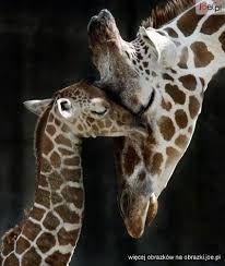 Znalezione obrazy dla zapytania żyrafa