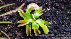 Plants carnivors !  #plantes #carnivores #carni83 #piantacarnivora #terrarium #vene #sarracenia #stickman #macro #growingup #littleone #picoftheday #minifigures #collezione #monsters #plant #green #life #nature #carnivore #carnivoroustagram #carnivora #plantnerd #carnivorousplants #art_of_nature #soper #pitcherplants  #californiacarnivores #sarraceniatibbburtina #carnivores by micka_du_sud.fr