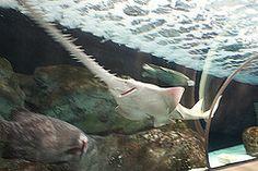 Green Sawfish