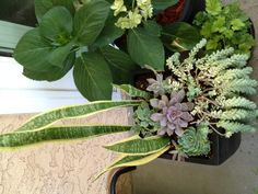 More purple succulent in pot with snake plant, echeveria Blue Alpine and donkey tail.