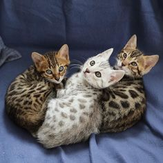 Three adorable kittens sitting together.