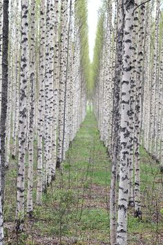 birches, so finnish <3
