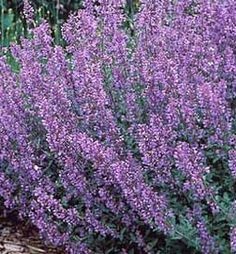 Perennials Cat Mint - A beautiful addition to any garden. This plant is perennial and requires very little pruning. Perfect for a perennial rock garden! Plants That Repel Bugs, Tall Plants, Outdoor Plants, Garden Plants, Outdoor Gardens, Garden Shrubs, Garden Soil, Container Gardening, Gardening Tips