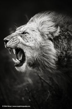 Desvre Lions Animal And Cat - Photographer captures angry lion before attack