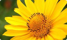 arnica-flower