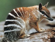 The endangered Numbat is one of my favorite Australian mammals.