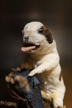 Antique taxidermy english bulldog by GreyForestSociety