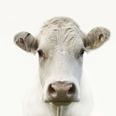 White Cow Art Print by Photography. All prints are professionally printed, packaged, and shipped within 3 - 4 business days. Beautiful Creatures, Animals Beautiful, Farm Animals, Cute Animals, Wild Animals, White Cow, White White, Cow Art, Tier Fotos