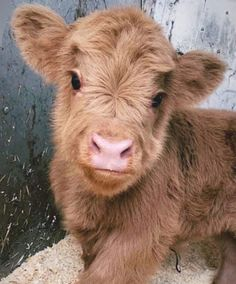 Cute Baby Cow, Baby Cows, Cute Cows, Cute Babies, Baby Elephants, Cute Creatures, Beautiful Creatures, Animals Beautiful, Fluffy Cows