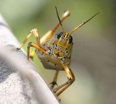 grasshopper8.jpg (668×600)