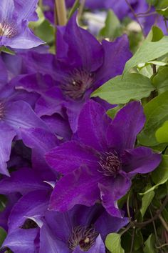The President Clematis - Monrovia - The President Clematis