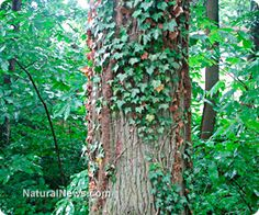 The best natural remedies for treating poison ivy rashes