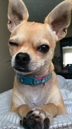 This Chihuahua's stink eye reminds me of my mother, lol...