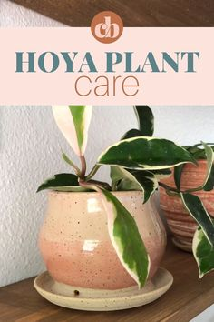 Hoya plants are a beautiful genus of tropical plant with over 200 varieties. Hoyas make great indoor plants and are pretty easy to care for. Learn how to care for Hoya plants by Clever Bloom. #hoya #hoyaplant #indoorplant