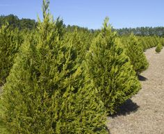 Cut your own Christmas tree at Strickland's Christmas Tree Farm.  http://www.waltonoutdoors.com/head-to-defuniak-springs-and-cut-your-own-tree-at-stricklands-christmas-tree-farm/