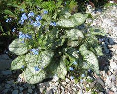 """annasträdgård - Det perfekta golvet i en rabatt är en marktäckare som växer sig stor först när tulpaner och andra vårlökar blommat över. Då ska de vissnande bladen snabbt döljas! Kaukasisk förgätmigej """"Jack Frost"""" är en sådan. Den har ganska små blad i början och får en sky av små söta blommor samtidigt som tulpanerna. Sen kan man klippa tillbaka den och då bildas stora täckande blad."""