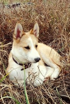 West Siberian Laika - click on the photo to learn more about this dog breed