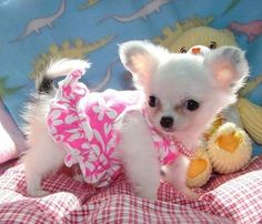 Google Image Result for http://thechihuahuapuppiesguide.com/images/Chihuahua.jpg