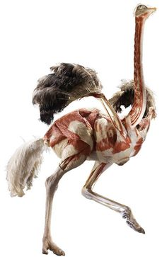 """Gunther von Hagens has expanded his penetrating vision by presenting """"Animals Inside Out"""" at the Natural History Museum in London; where animal corpses like this ostrich are revealed. Cat Anatomy, Animal Anatomy, Anatomy Art, Gunther Von Hagens, Ostriches, Science Photos, Museum Exhibition, Tutorials, Fine Art"""